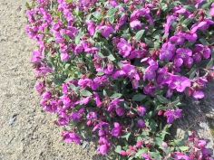 greenland summer flowers
