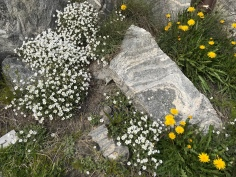 Summer flowers in Greenland